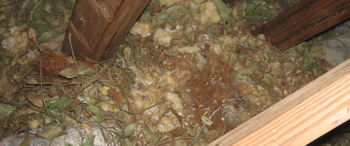 Photos Of Damage From Squirrels In Attic Torn Ducts