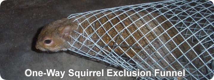 trapping a doors they enter inside techniques trap rarely and for one how bait squirreltrapping set ground door on squirrels not to attic way the will squirrel