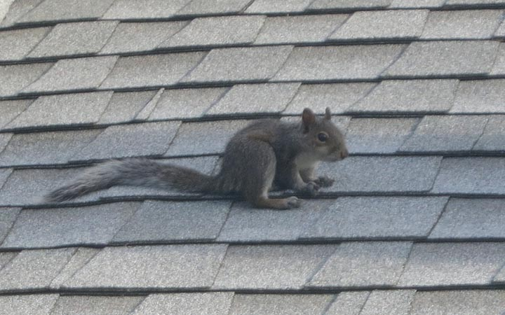What To Do About The Squirrel On The Roof