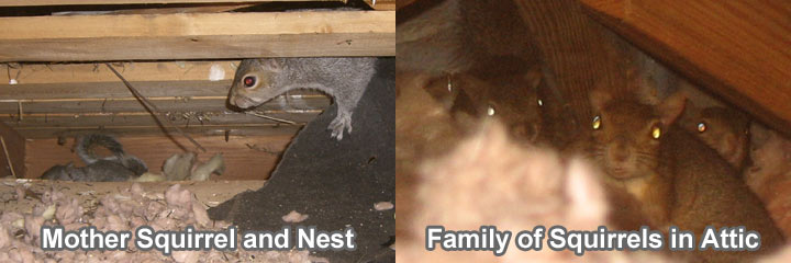 Squirrels In The Attic Guide To Humane Squirrel Removal