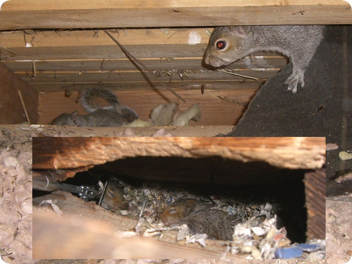 Noises In The Attic During The Day Sounds From Squirrels