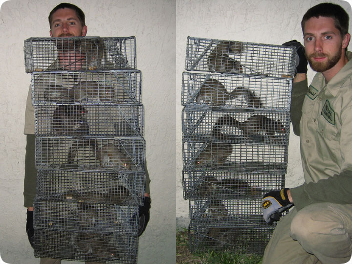 Squirrel Trapping Tips and Techniques  sc 1 st  Squirrels in the Attic & Trapping Tips and Techniques