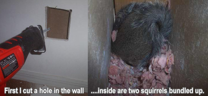 Squirrel In The Wall How To Get Squirrels Out Of The