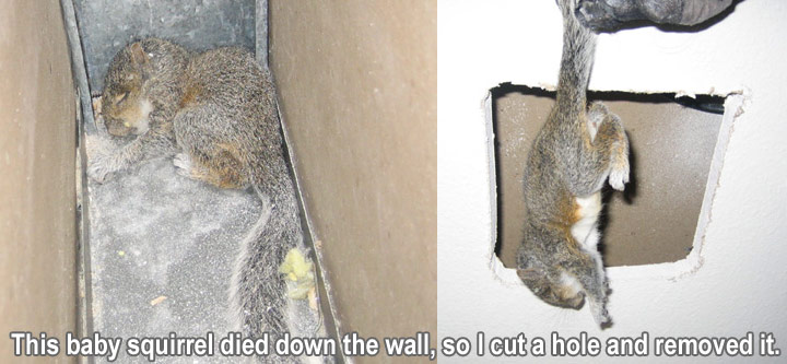 How do you get rid of squirrels in your ceiling www - How do you keep squirrels out of your garden ...